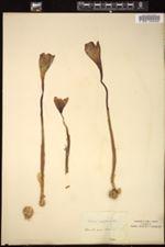 Crocus nudiflorus image