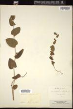 Aristolochia rotunda image