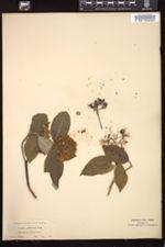Cornus pubescens image