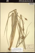 Image of Rhynchospora aristata