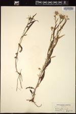 Image of Jacobaea paludosa