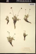 Image of Cogswellia oregana