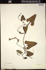 Image of Aristolochia clavidenia