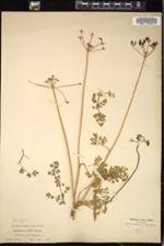 Image of Cogswellia hallii