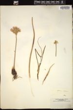 Image of Allium roseum