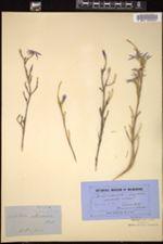 Calectasia cyanea image