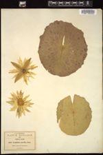 Image of Nymphaea gracilis