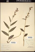 Image of Cephalanthera pallens