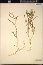 Potamogeton acutifolius image