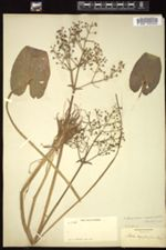 Image of Albidella nymphaeifolia