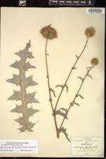 Image of Cirsium greenei