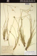 Image of Rhynchospora angosturensis