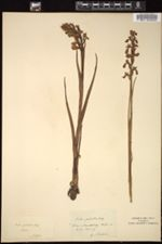 Image of Orchis palustris