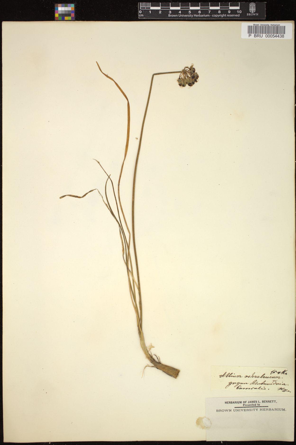 Allium ericetorum image