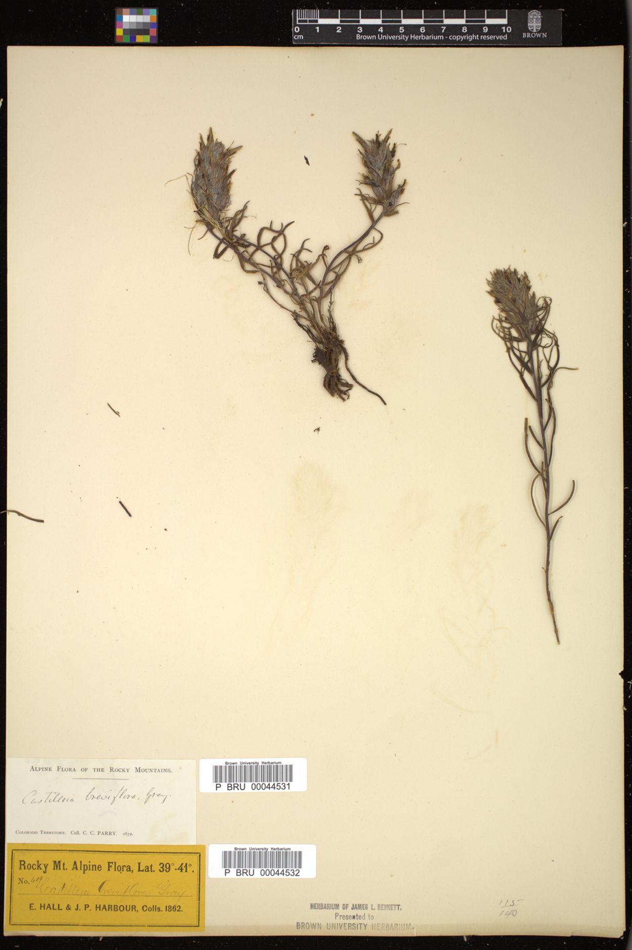 Castilleja breviflora image