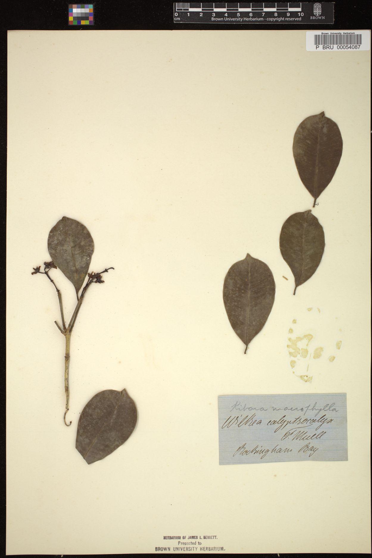 Kibara macrophylla image