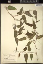 Smilax moranensis image