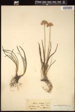 Allium lusitanicum image