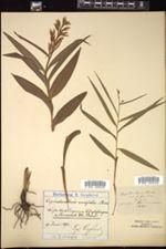 Image of Cephalanthera ensifolia