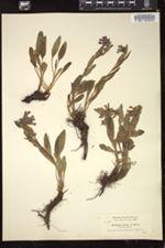 Image of Mertensia foliosa