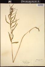 Image of Polygonatum roseum