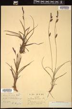 Image of Carex binervis