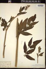 Sium latifolium image