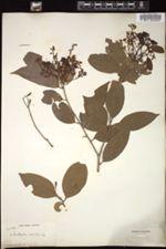 Image of Nectandra exaltata