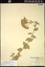Image of Ageratina durangensis