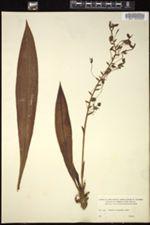 Image of Ponthieva maculata