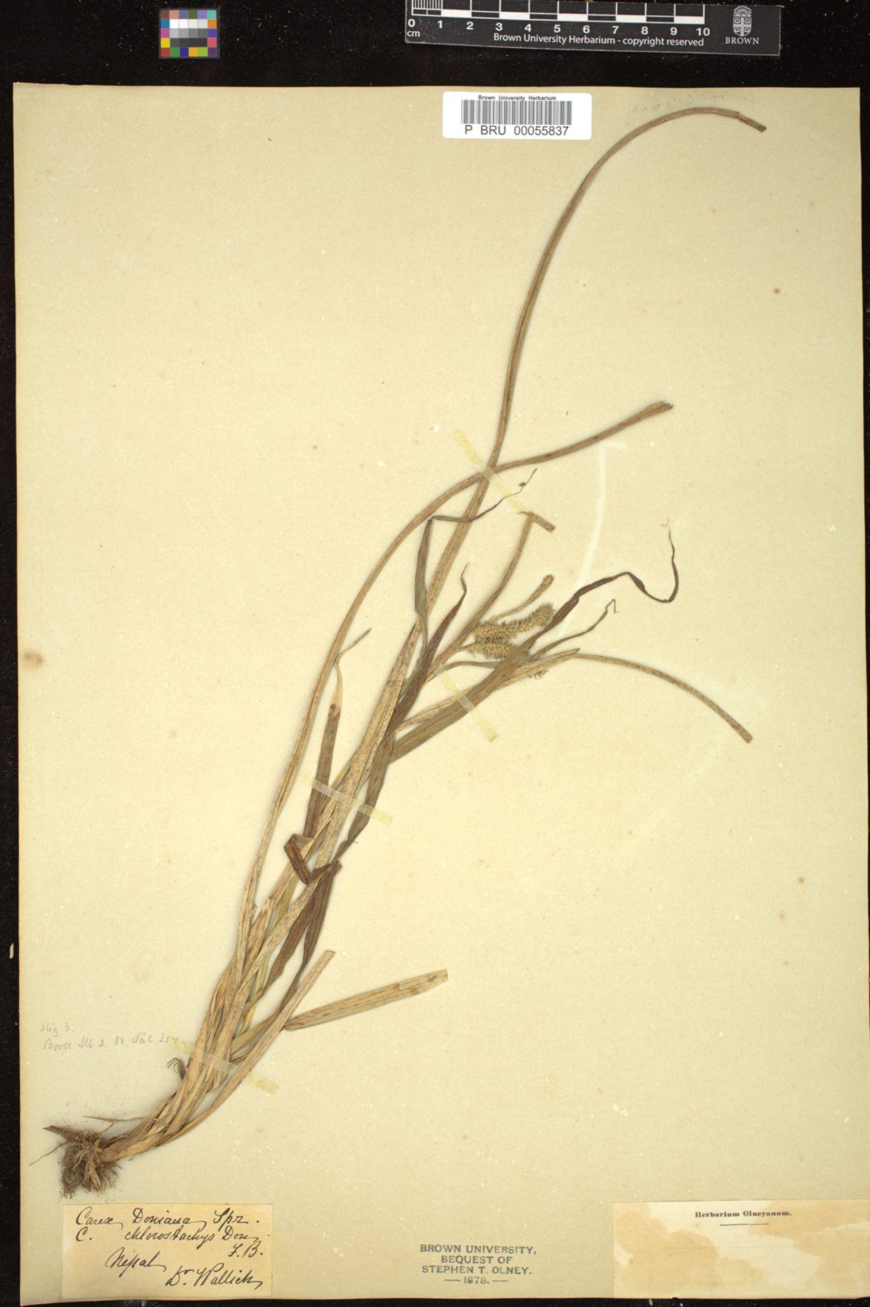 Carex alopecuroides image