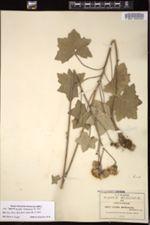 Image of Cacalia michoacana