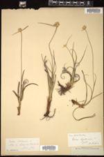 Carex baldensis image
