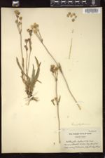 Image of Lychnis triflora