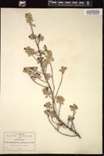 Image of Leucophyllum ambiguum