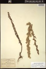 Image of Conyza erythrolaena