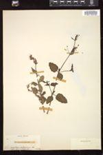 Image of Boerhavia viscosa
