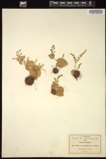 Image of Dioscorea multinervis
