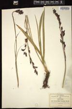 Image of Stenanthium frigidum