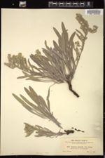 Oreocarya multicaulis image