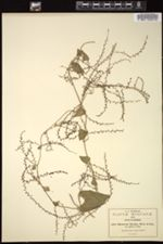 Image of Dioscorea hispida