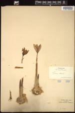 Image of Crocus sativus