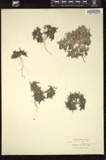 Image of Nama parviflora