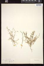 Collomia leptalea image
