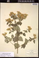 Image of Calea pringlei