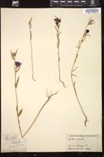 Clarkia tenella image
