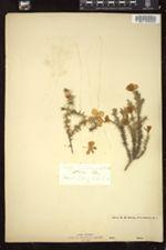 Gilia californica image