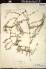 Asparagus acutifolius image