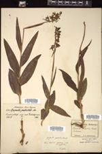 Image of Epipactis palustris