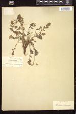 Image of Erodium acaule